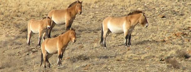 La réserve de Khustain Nuruu, cheval de Prjevalski (« Takhi »)