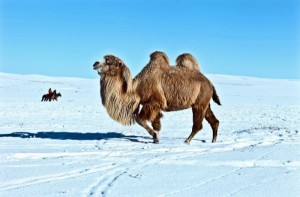 Le chameau mongol