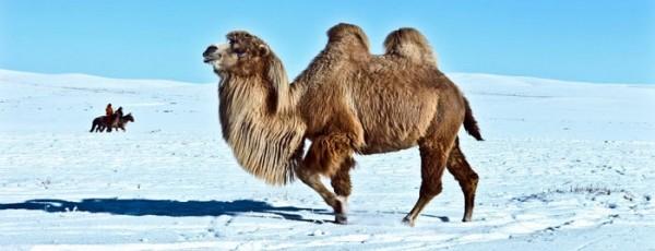 Le chameau mongol à deux bosses