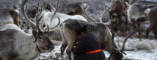 Les tsaatans «des éleveurs de rennes»