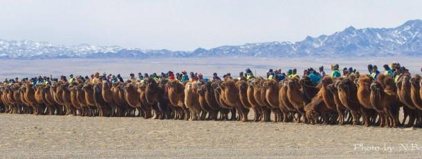 Des chameliers mongols ont battu le record du monde de la plus grande course de chameaux