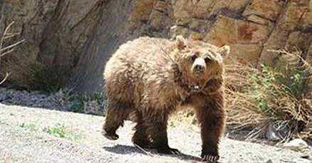 L'Ours du Gobi ou «Mazaalai»