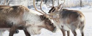 2-reindeer-in-snow