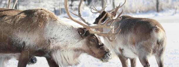 """Les tsaatans """"des éleveurs de rennes"""""""